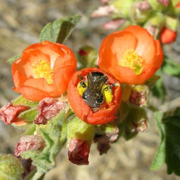 Globe mallow bee foraging for pollen on Munro's globemallow, in the process pollinating the flower.