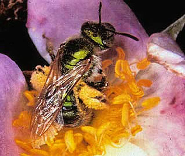 A metallic green sweat bee visits a wild rose flower.