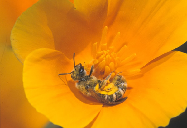 Halictus escholzia collects pollen on a California poppy flower.