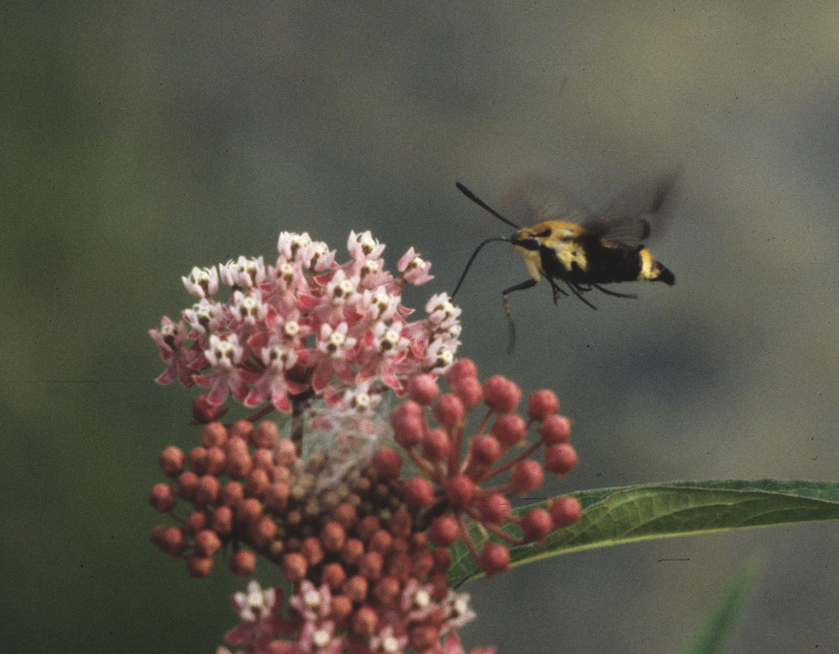 A snowberry clear wing is sipping nectar from swamp milkweed.