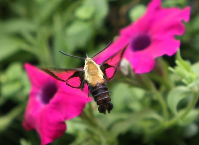 Hummingbird Moth Nectaring On A Blue Flower