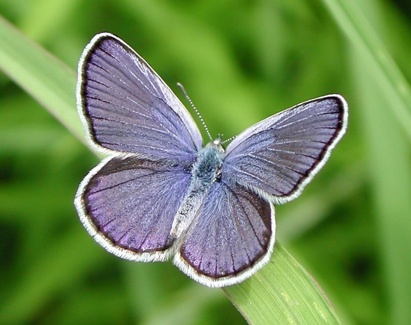 Butterfly pictures genus species - Karner Blue 3