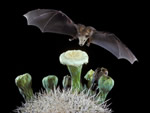lesser long-nosed bat in flight approaching a catcus flower.
