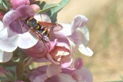 pollen wasp on Penstemon haydenii.