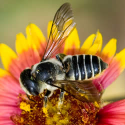 A female megachile leafcutter bee collecting pollen from a blanketflower.