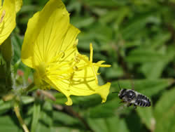 A female megachile leafcutter bee approaches an evening primrose.