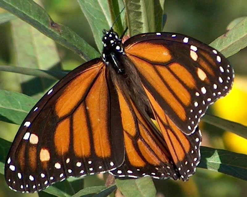 Adult-Monarch-Butterfly