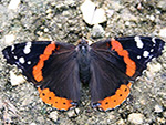 Adult Red Admiral butterfly.