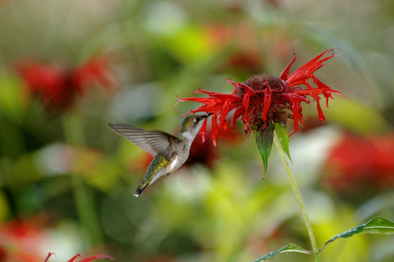 ruby-throated hummingbird sipping nectar from a scarlet beebalm flower.