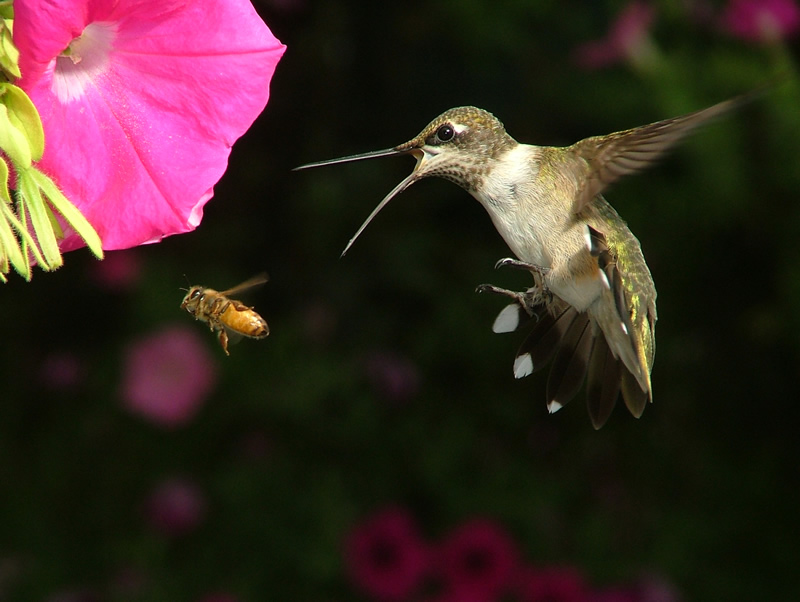 Ruby-throated hummingbird and honey bee in flight at a pink flower.