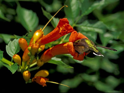ruby-throated hummingbird in a trumpet creeper flower.