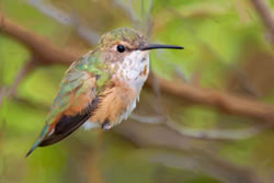 Female rufous hummingbird.