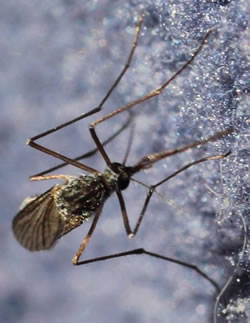 Aedes communis on a fleece.
