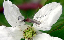 Mosquito pollinating a flower.