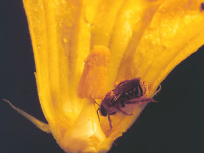 Xenoglossa spp. on a squash flower.