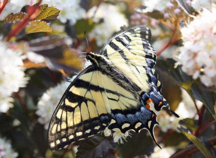 308032563 Eastern tiger swallowtail female.