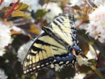 Eastern Tiger Swallowtail (Papilio glaucus).