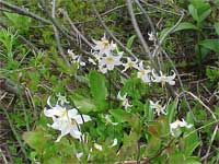 Avalanche Lilies.