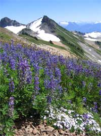 Ptarmigan Ridge Trail with broad-leaf lupine and spreading phlox.