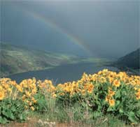 balsamroot with a rainbow in the background over the Columbia River.