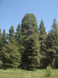 The Champion Lodgepole Pine