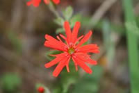 Indian pink (Silene laciniata ssp. californica)