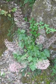 Crevice alumroot (Heuchera micrantha).
