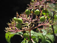 Blackfruit dogwood.