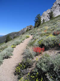 Wildflowers along trail below Freel Peak.