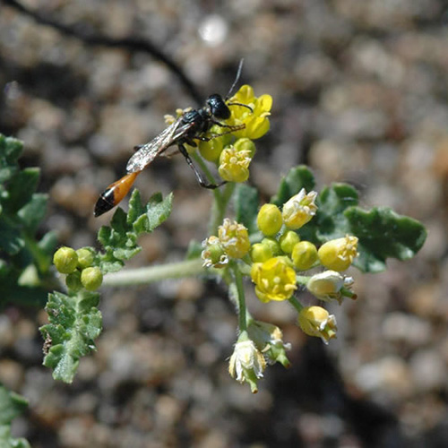 Thread-waisted wasp getting nectar from Tahoe yellow cress.