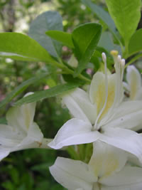 Western azalea (Rhododedron occidentale).