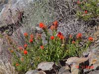 Applegate's paintbrush.