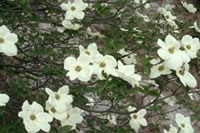 Mountain dogwood (Cornus nuttallii)