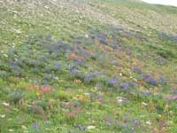 Lupine, Indian paintbrush, elephant's head and other wildflowers along Highway 14A.