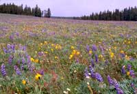 wildflowers in a meadow along Highway 16 in the Cloud Peak Skyway.