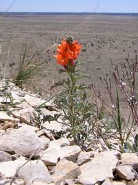 copper globemallow overlooking the shortgrass prairie.