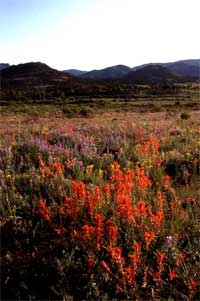 Indian paintbrush and penstemon.