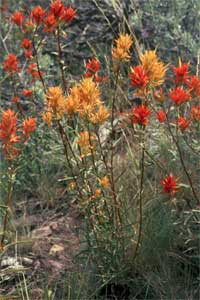 Wyoming Paintbrush.