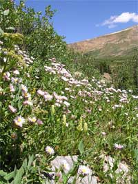 daisy fleabane forming a carpet of pale pink and yellow at the base of the basin containing Shelf Lake.