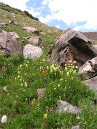 western Indian paintbrush and splitleaf Indian paintbrush coloring the tundra with pale yellow and bright pink.