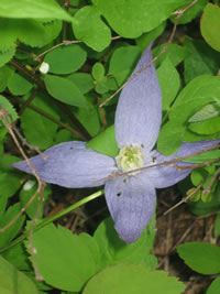 Close-up of Blue Clematis