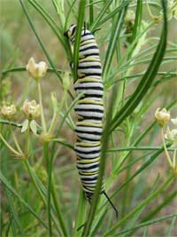 monarch butterfly larvae on a plains milkweed.
