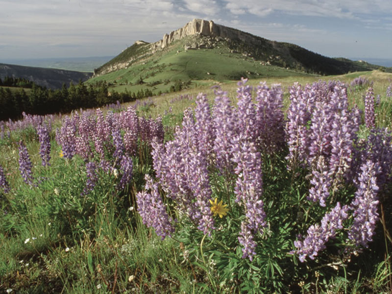 lupine and other wildflowers blooming on the Bighorn National Forest in Wyoming.