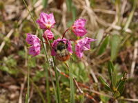 Bog laurel and its bumblebee pollinator.
