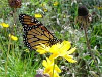 monarch butterfly on a lance leaf coreopsis.