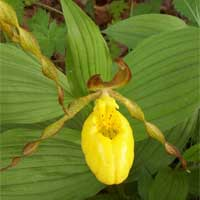 yellow ladyslipper.