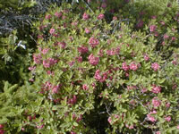 Sheep laurel (Kalmia angustifolia).