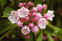 mountain laurel.