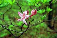 early azalea.