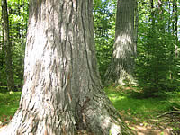old growth white pine